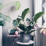 House Plant Crush: The Medinilla Magnifica
